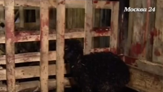 Cercado onde ficam as ovelhas teria amanhecido com marcas de sangue após ataque de chupacabra (Foto: Reprodução/YouTube/Sergey Lomarkin)