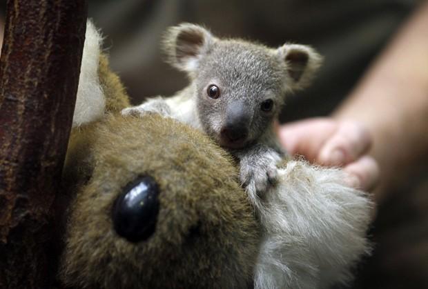 Filhote foi fotografado junto a coala de pelúcia durante procedimento de pesagem em zoológico alemão (Foto: Ina Fassbender/Reuters)