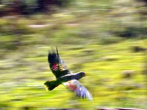 Ao todo, 43 papagaios foram soltos (Foto: Espaço Silvestre/Divulgação)