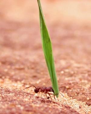 Tórax de formiga se adapta às funções que executam na vida adulta. (Foto: Alex Wild/Divulgação)