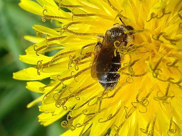 Ciclo de polinização das abelhas e flores tem se adiantado conforme fica mais quente (Foto: Cortesia/ J.S. Ascher)