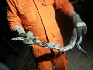 Cobra jiboia foi encontrada em uma escola municipal (Foto: Francisco Pinho/Arquivo pessoal)