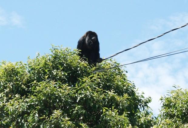 Macaco surpreendeu ao aparecer no topo de árvore (Foto: Osmar Ferraz / Jornal A Imprensa)