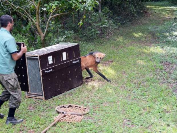 Lobo-guará volta à natureza depois de tratamento em Zoo de Sorocaba (Foto: Emerson Ferraz/Prefeitura de Sorocaba)