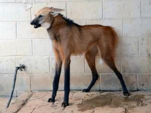 Lobo-guará recebeu cuidados médicos por um mês, no 'Quinzinho de Barros' (Foto: Divulgação / Emerson Ferraz)