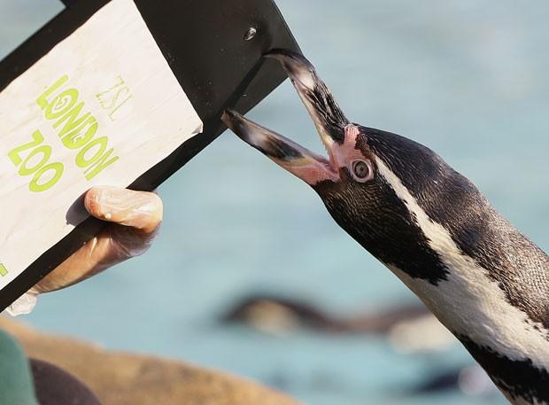 Pinguim morde prancheta de tratador no zoológico de Londres durante tradicional censo animal (Foto: Leon Neal/AFP)