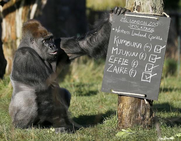 Kumbuka, um exemplar macho de gorila, é visto próximo a placa que indica a confirmação de sua presença e de outros três primatas que vivem no zoológico de Londres (Foto: Kirsty Wigglesworth/AP)