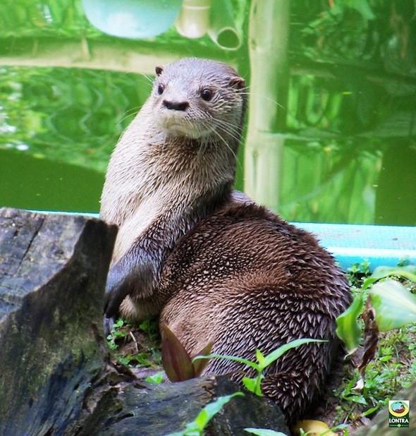 Lontras são preservadas desde 1986 na Lagoa do Peri (Foto: Projeto Lontra/Divulgação)