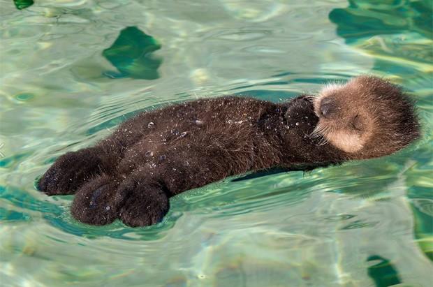 Flagra de lontra dormindo com pata na boca virou hit na web devido à 'overdose de fofura' (Foto: Divulgação/Monterey Bay Aquarium)