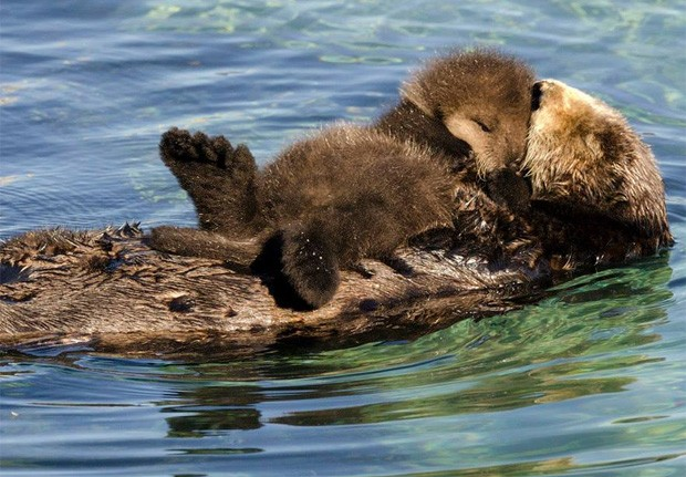 Em momento 'mãe e filho', lontra foi flagrada descansando na barriga da mãe enquanto ganhava 'beijo' (Foto: Divulgação/Monterey Bay Aquarium)