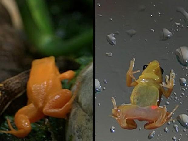 Foto da esquerda mostra o sapo 'Mantella aurantiaca' sem a marcação fluorescente; à direita, é possível ver pequena mancha fluorescente no anfíbio (Foto: BBC)