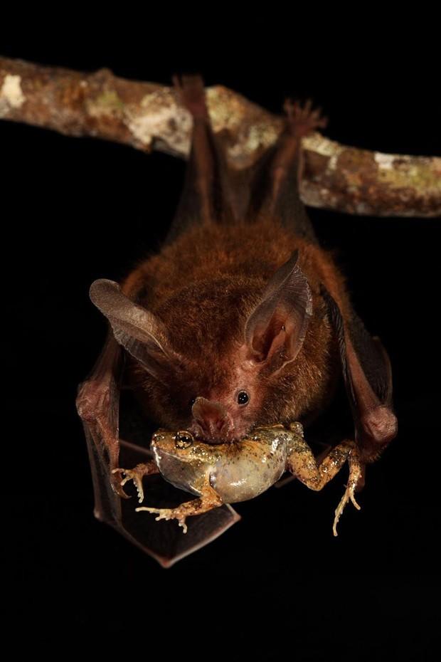 Imagem mostra morcego se alimentando da rã (Foto: Christian Ziegler/Divulgação)