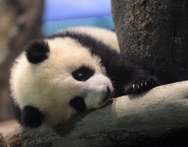 Filhote será exibido com a mãe em espaço reservado para pandas (Foto: Sam Yeh/Pool/AFP)