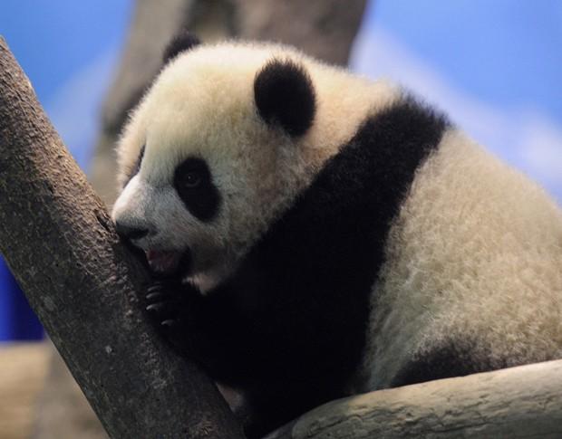 Yuan Zai é o primeiro panda a nascer em Taiwan (Foto: Sam Yeh/Pool/AFP)