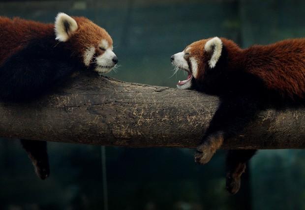 Panda-vermelho boceja para colega enquanto descansam em galho no zoológico de Pequim, na China (Foto: Mark Ralston/AFP)