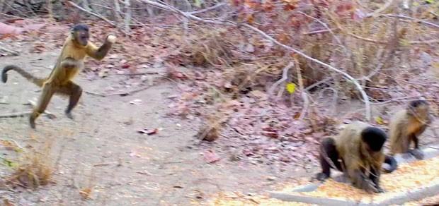 Imagem captada por cientista mostra fêmea de macaco-prego segurando pedra, pronta para arremessar no macho. Tática é usada para acasalamento (Foto: Divulgação/Tiago Facólico/PLoS One)