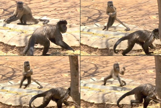 Passo a passo do cúpido selvagem: nas quatro cenas, é possível acompanhar a fêmea se preparando para o ataque (Foto: Divulgação/Tiago Facólico/PLoS One)