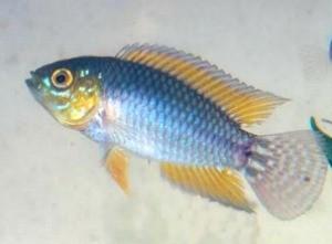Apistogrammoides pucallpaensis foi encontrado apenas no Lago da Onça, em Maraã (Foto: Jonas Oliveira/Instituto Mamirauá)