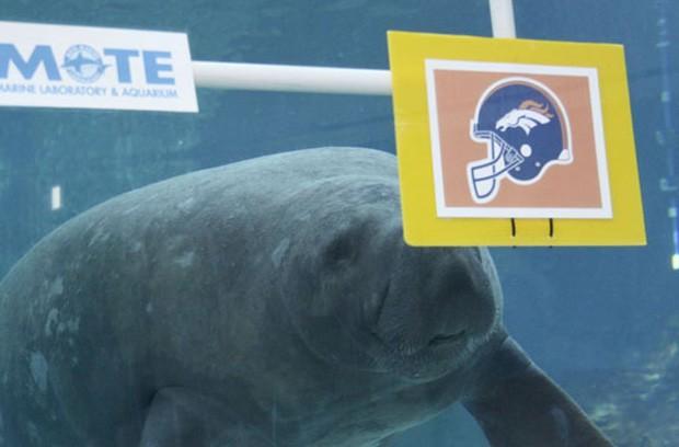 O peixe-boi 'Buffett' arriscou que o vencedor do Super Bowl 48 será o Denver Broncos (Foto: Divulgação/Mote Marine Laboratory & Aquarium)
