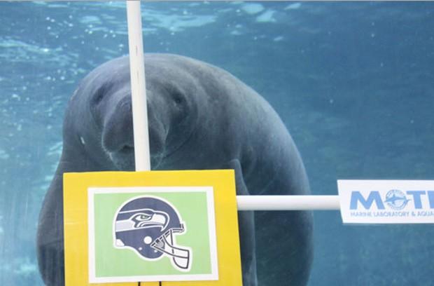 Já seu meio-irmão 'Hugh' previu que o ganhador será o Seattle Seahawks, mas o animal acertou apenas quatro vezes nos últimos 6 anos em que fez previsões sobre o campeonato (Foto: Divulgação/Mote Marine Laboratory & Aquarium)