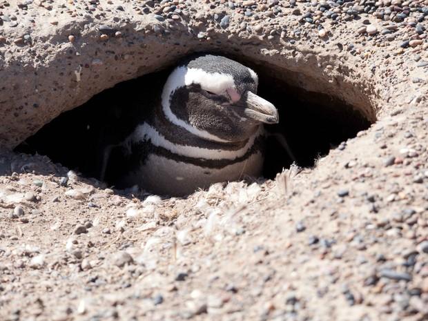 Globo Repórter - Patagônia argentina - Pinguim de Magalhães no ninho (Foto: Rede Globo)