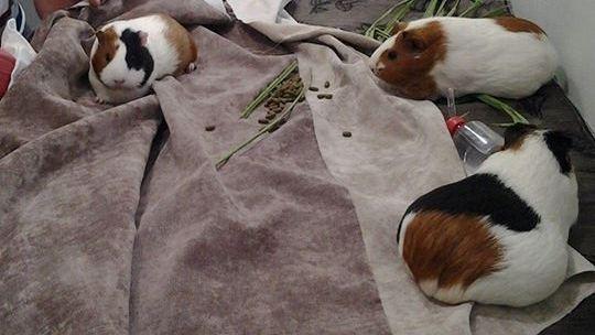 Porquinhos-da-índia seguem dieta especial (Foto: Dr Selvagem/Divulgação)