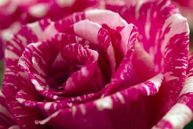 Floricultura em Latacunga se destaca por rosas com colorações curiosas (Foto: Guillermo Granja/Reuters)