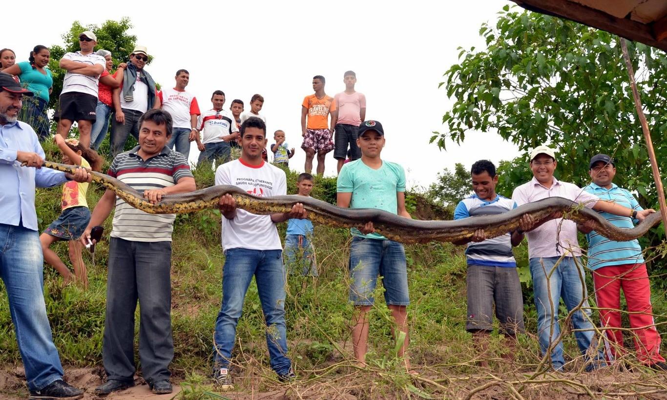 Homens da comunidade seguram sucuri gigante (Foto: Jardy Lopes/ Arquivo pessoal)