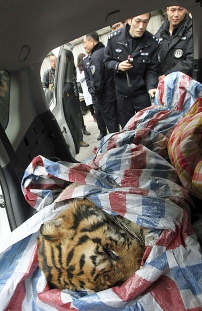 Carcaça de tigre enrolada em cobertor foi encontrada no interior de automóvel na cidade de Wenzhou. Dois homens estavam carregando corpo do animal. Um foi preso e outro conseguiu fugir (Foto: Reuters/China Daily)