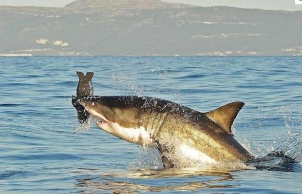 Tubarão branco salta para capturar foca de brinquedo em False Bay, na África do Sul, em julho de 2010 (Foto: Carl de Souza/AFP)