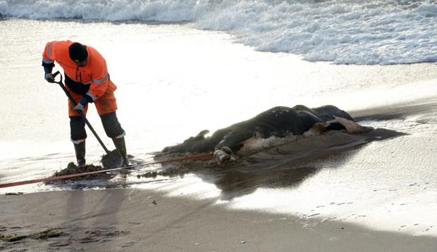Funcionário municipal remove outra carcaça de vaca encontrada em praia de Ystad, na Suécia (Foto: TT News Agency, Johan Nilsson/AFP)