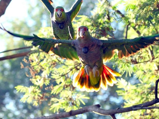 Primeiros papagaios foram soltos há três anos (Foto: Vanessa Kanaan/Espaço Silvestre)