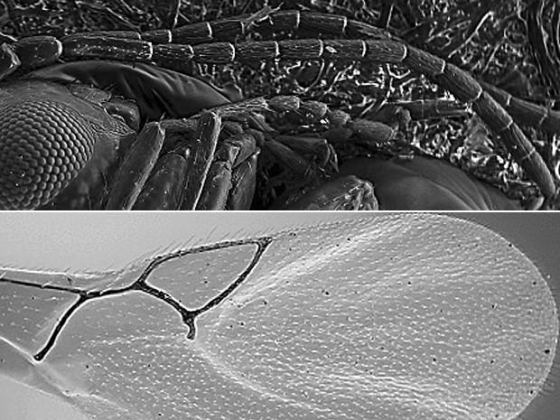 De cima: detalhe de asa da vespa 'Alloxysta neartica' e do corpo deitado com as antenas por cima da 'Phaenoglyphis jeffersoni' (Foto: Entomological Society of America)