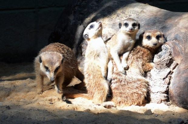 Um ano atrás, três suricatas trocaram Joanesburgo por Sorocaba (Foto: Divulgação/Prefeitura de Sorocaba)