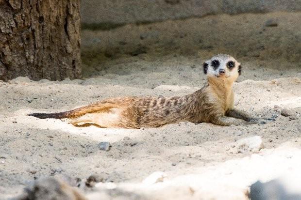 O animal pode atingir 26 cm de comprimento e um quilo (Foto: Divulgação/Prefeitura de Sorocaba)