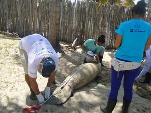 Filhote de peixe-boi é do sexo feminino e possui 1.89 metros de comprimento (Foto: Projeto Biomade patrocínio Petrobras)