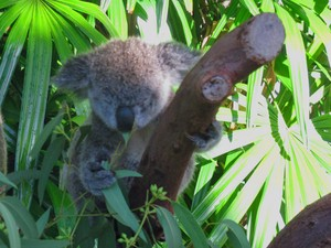 Coala bebê em Hamilton Island (Foto: Flávia Mantovani/G1)