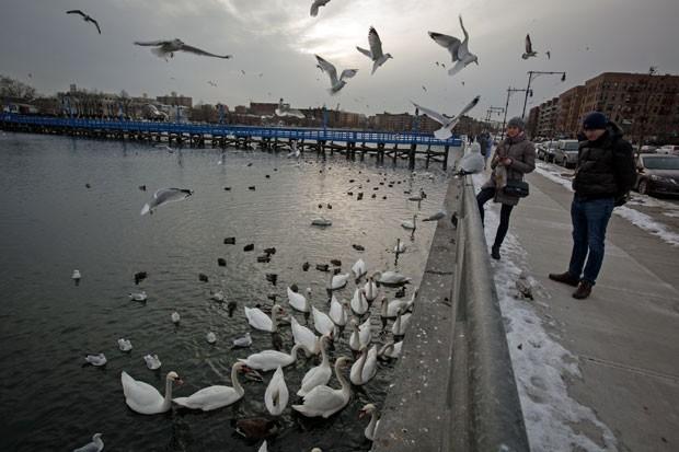 Casal alimenta cisnes na Baía Sheepshead, em Nova York, em 28 de janeiro deste ano. Departamento de Conservação da cidade americana declarou guerra a esta espécie de ave por considerá-la invasora (Foto: Michael Kirby Smith/The New York Times)