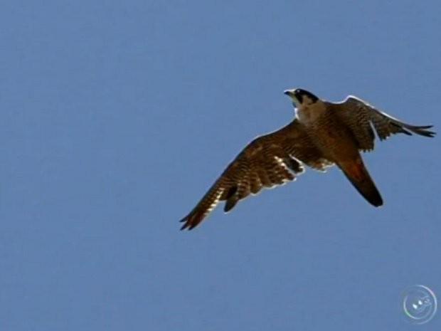 Aves devem ficar na cidade até Abril (Foto: Reprodução/ TV TEM)