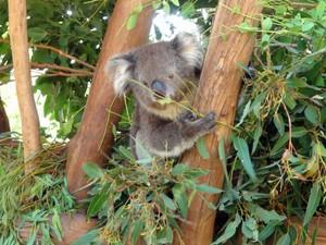 Coala no Featherdale Park, perto de Sydney (Foto: Flávia Mantovani/G1)