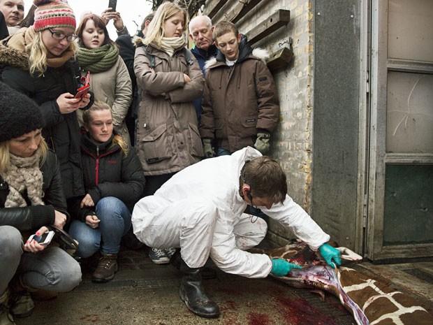 Zoológico realizou necropsia em girafa e visitantes puderam assistir (Foto: Scanpix Denmark/ AFP)