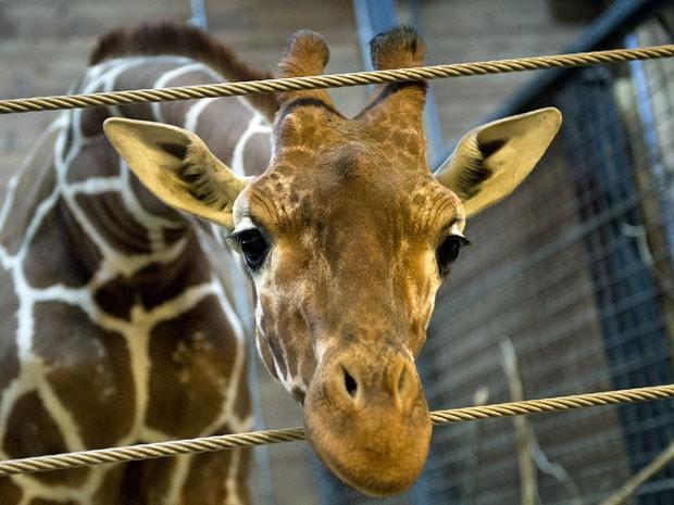 Filhote tinha um ano e meio e se chamava Marius (Foto: Scanpix Denmark/ AFP)