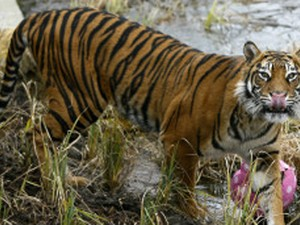 Filhotes Kanú, Hati e Bali brincam com a mãe, a tigresa de bengala Indira. (Foto: Luis Robayo/AFP)