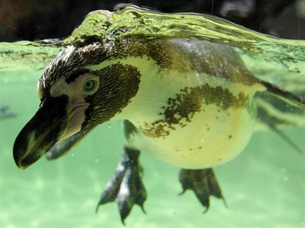 Exemplar de pinguim de Humboldt. Aves desta espécie, ameaçada de extinção, foram pesquisadas e concluiu-se que elas utilizam o odor de seus parceiros para encontrá-los em meio a colônias lotadas de outros pinguins (Foto: AFP)