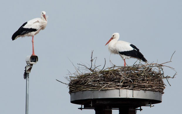 Um casal de cegonhas construiu seu ninho ao lado de câmera de segurança no telhado de uma casa em Auhagen, na Alemanha (Foto: Julian Stratenschulte/DPA/AFP)