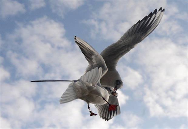 O fotógrafo Michal Cizek flagrou nesta terça-feira (15) duas gaivotas lutando por um pedaço de pão durante o voo em Praga, na República Tcheca. (Foto: Michal Cizek/AFP)