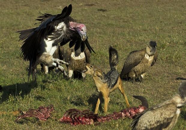 Um abutre não se intimidou e lutou contra um chacal enquanto os animais disputavam uma carcaça no reserva de Masai Mara, no Quênia (Foto: Carl de Souza/AFP)