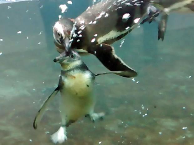 Filhote de pinguim nada pela primeira e faz amizades na Sabina Escola Parque do Conhecimento, em Santo André (Foto: Divulgação/PSA)