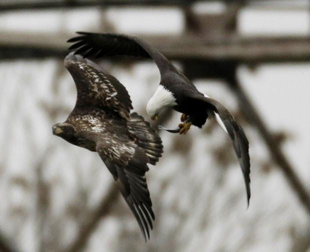 Duas águias foram fotografadas na última terça-feira (26) lutando em pleno voo por um peixe perto do rio Susquehanna, no estado de Maryland (EUA) (Foto: Gary Cameron/Reuters)
