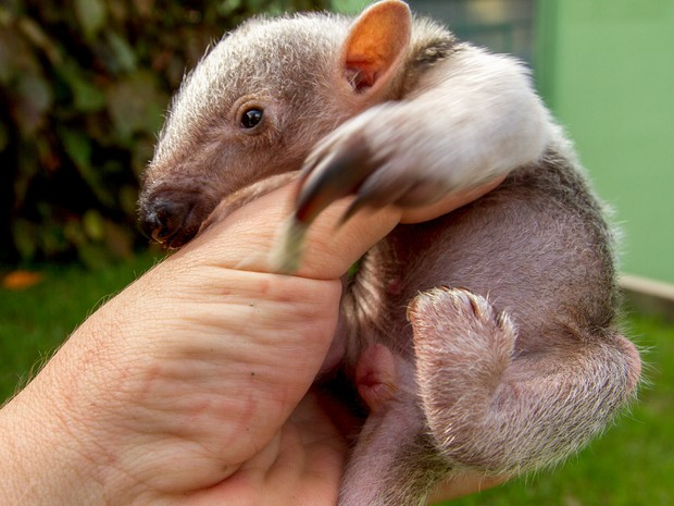 Filhote de tamanduá-mirim nasceu no Zoo de SP. (Foto: Carlos Nader/ GOVSP)